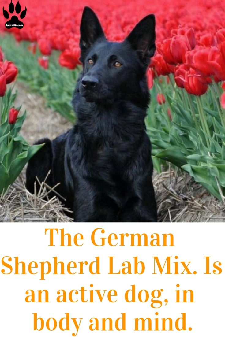 The German Shepherd Lab Mix Shepador Labrottie Com German Shepherd Lab Mix Dog Activities Labrador Funny