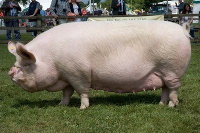 """The Middle White Pig breed was recognised as a breed in 1852 at the Keighley Agricultural Show in West Yorkshire where Joseph Tuley exhibited several of his Large White sows along with others.The judges could not agree since some were not considered sufficiently large for the """"Large Breed"""" class, nor eligible for the """"Small Breed"""" class a committee was summoned to avoid being disquaified. The judges decided to provide a third class and to call it the """"Middle Breed""""."""