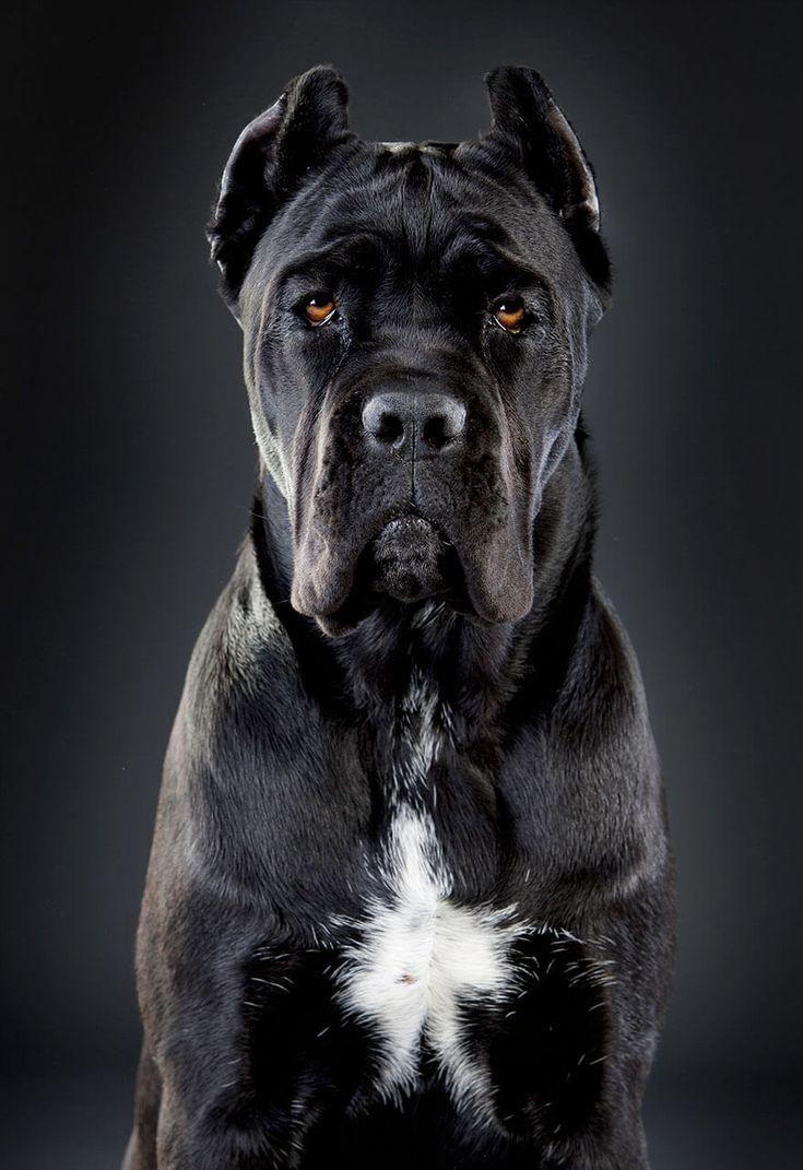 Black Cane Corso Hunde Hunderassen