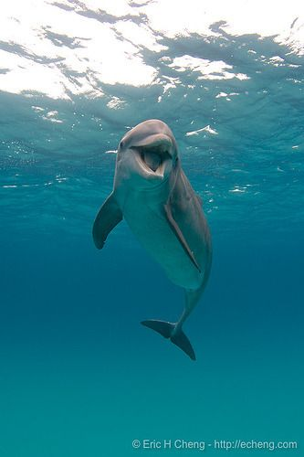 "bluishness:  "" Bottlenose dolphin, Bahamas by echeng  """