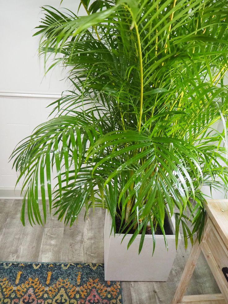 Arcea palm care guide plantz caring for a palm areca