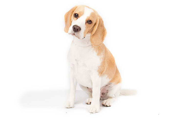 Beagle Dog Breed Information Beagle Dog Dog Breeds Beagle Dog