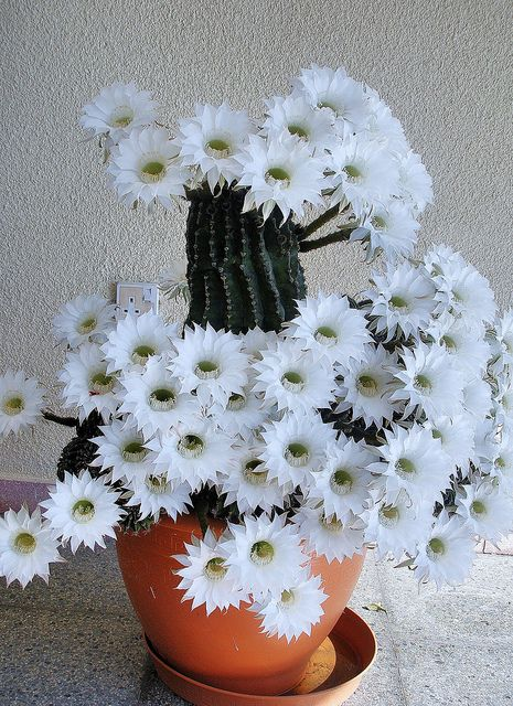 Cactus with beautiful white blooms