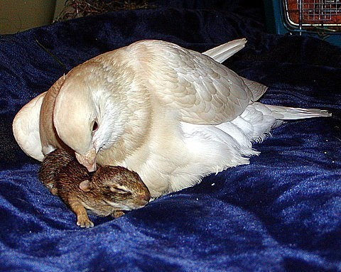 Pombo adota filhote de coelho.