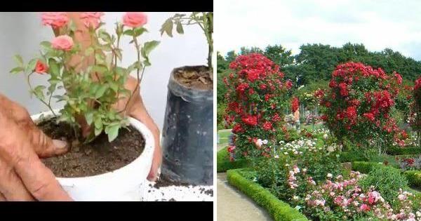 Si os gustan las rosas en miniatura, ya que son tendencia, podéis aprender a cultivarlas en casa gracias a este vídeo. ¿Os lo vais a perder?