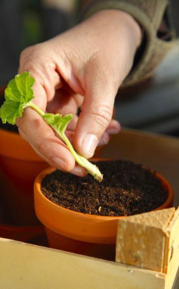 Viele unserer Topfgäste lassen sich einfach aus Stecklingen ziehen, andere kann man gut teilen – so erhält man neue blühfreudige Pflanzen und gewinnt gleichzeitig Platz für die Überwinterung. In diesem Artikel zeigen wir Ihnen, wie Sie Geranien durch Stecklinge vermehren können.