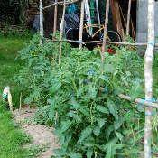 Quels tuteurs utiliser pour vos tomates : piquets, ficelles, cages, tipis ...