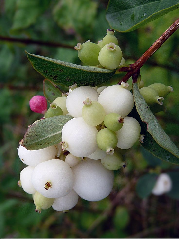 Symphoricarpos albus; Snowberry in summer