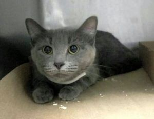 ***UNKNOWN 06/09/17*** SECOND CHANCE!! BEAUTIFUL BLUE NEEDS YOU!! BLUE was brought in for a pet's conflict. She needs an experienced adopter who can help her out of her shell - only a year and half old - perfectly healthy - MUST BE RESERVED BY NOON!!