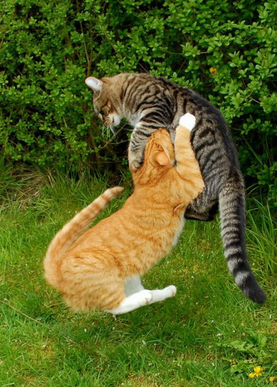 Fighting cats (60 photos) (16)
