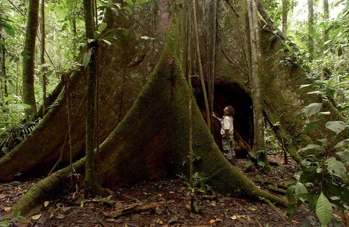 Giant Kapok Tree In The Ecuadorian Amazon Rainforest Kapok
