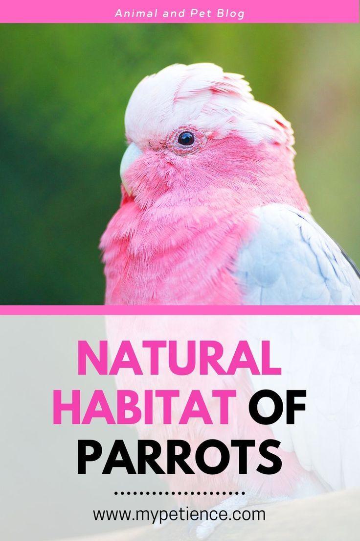 Where Do Parrots Live The Habits Of Parrots In 2020 Parrot Funny Parrots Parrot Pet