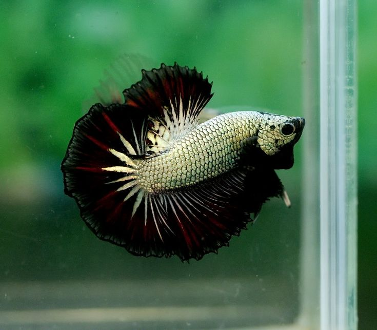 178 best bettas images on pinterest for Best place to buy betta fish
