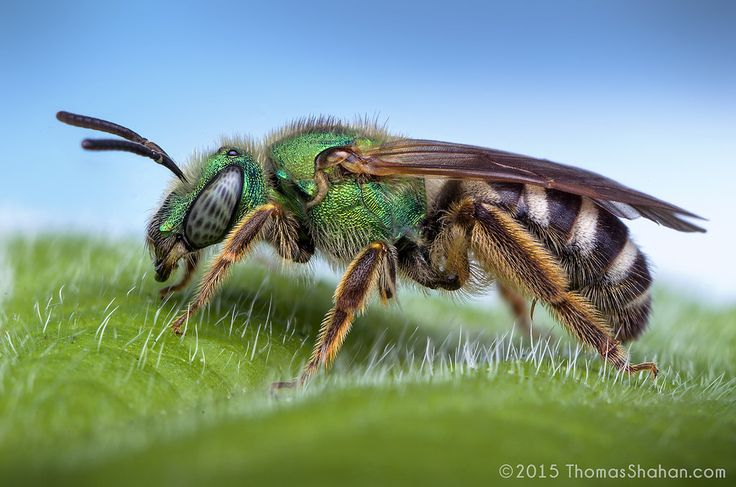 https://flic.kr/p/sc4FPf | Female Agapostemon sp. Sweat Bee - Oregon | Spring's in full swing and the bugs are returning! Here's a beautiful little…