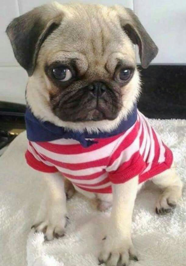 A pug with attitude in a cute Fourth of July outfit