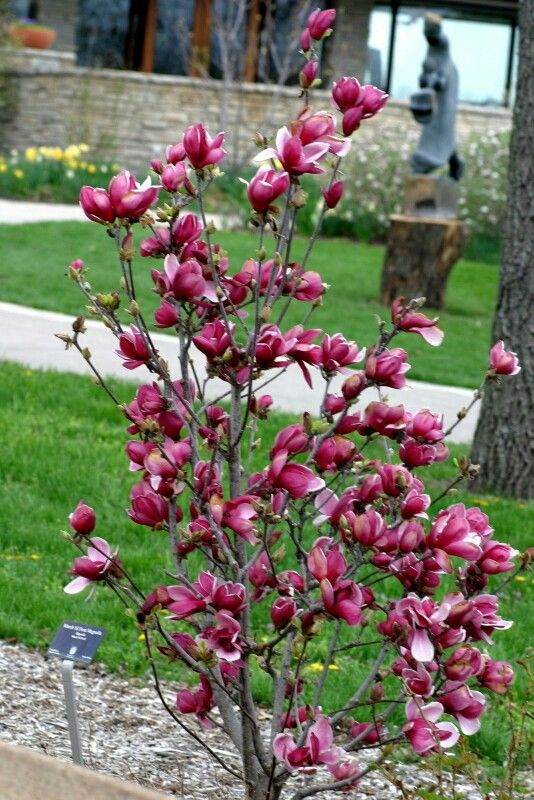 Magnolia tree (magnolia jane)