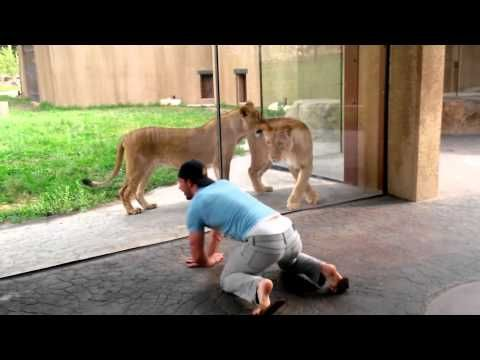 A man tries to play with lions at the zoo and their response is exactly what you might expect it to be | Rare