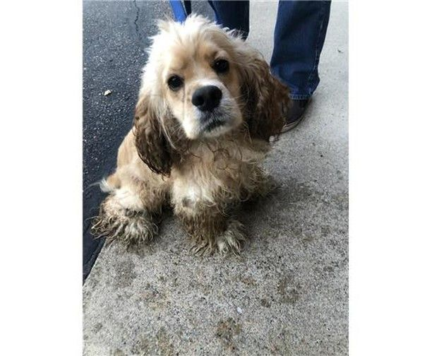 Is This Your Dog Sartell Cocker Spaniel Unknown Date Found 09 26 2019 Breed Of Dog Cocker Spaniel Gender Unknown Closest Int Losing A Dog Dogs Dog Ages
