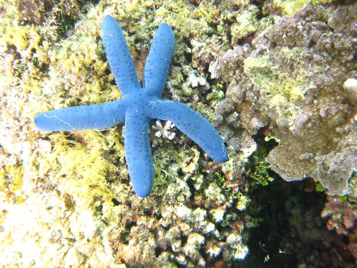 the famous blue starfish