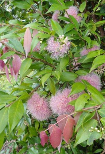 SYZYGIUM Cascade Love it, but not on the boundary near the pool