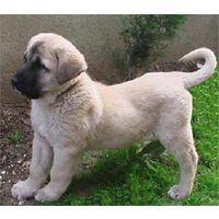 Le berger d'anatolie ou kangal (chien) - Tutoriel