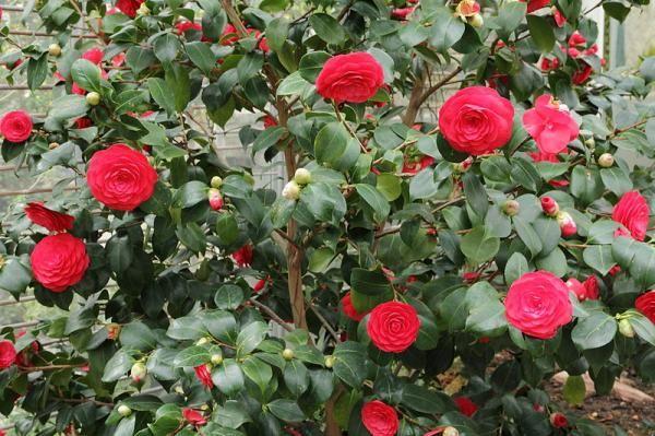 21 Arbustos Con Flores Nombres Y Fotos Arbustos De Hoja Perenne Arbustos De Jardín árboles Y Arbustos
