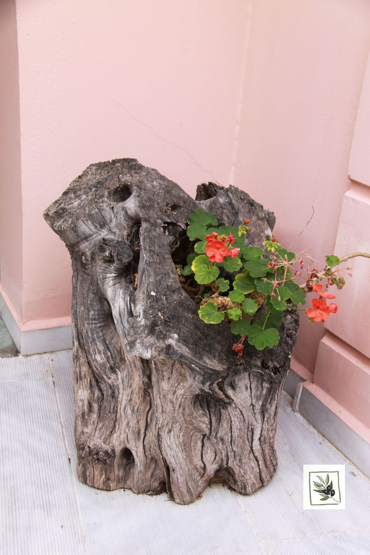 The olive trunk became a flower pot at eleonas hotel