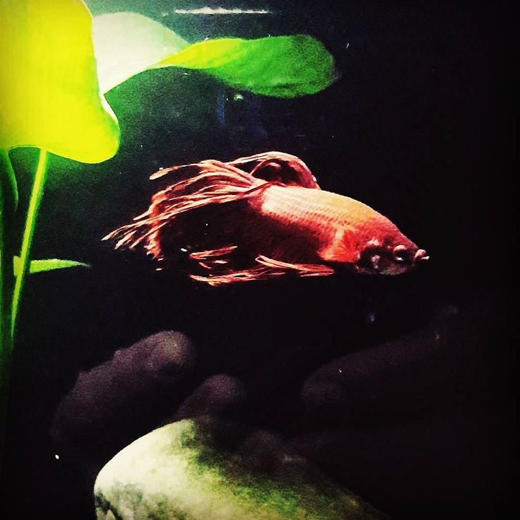 Morning Bruce. #aquarium #tank #petfish #plantedtank #siamesefighter #crowntailbetta #bettasofinstagram #brucethebettafish #instagram #instagood #picoftheday #capetown