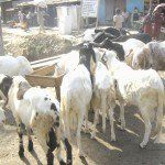 Eid-el-Kabir: Rams sellers lament low patronage in Yenagoa