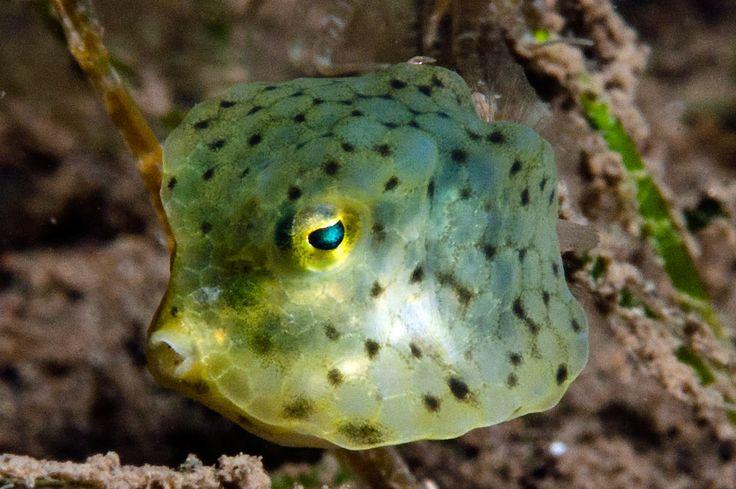 Roundbelly Cowfish, Lactoria diaphana