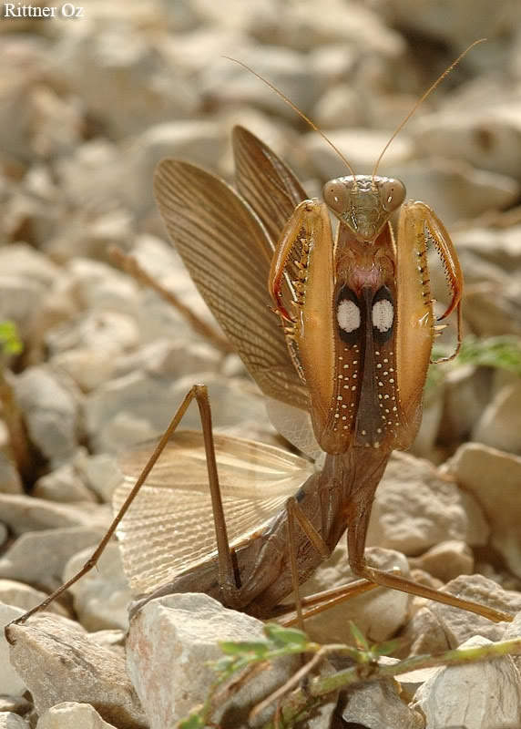 Mantis Religiosa so cute but if i seen this in my place id die D: