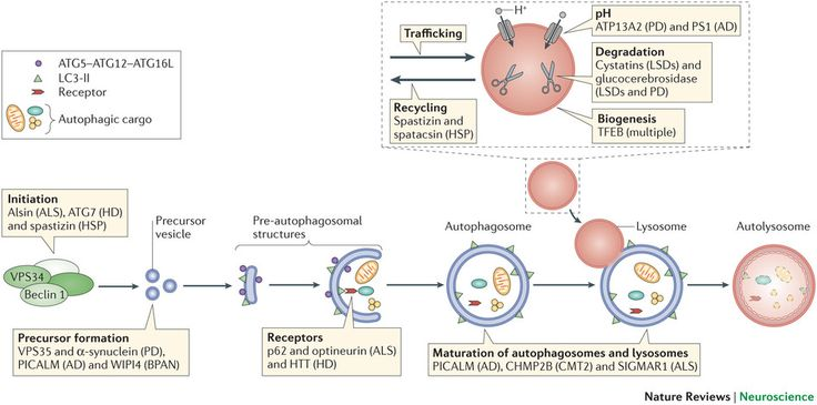Overview of the autophagy pathway and the sites of action of disease-associated proteins.