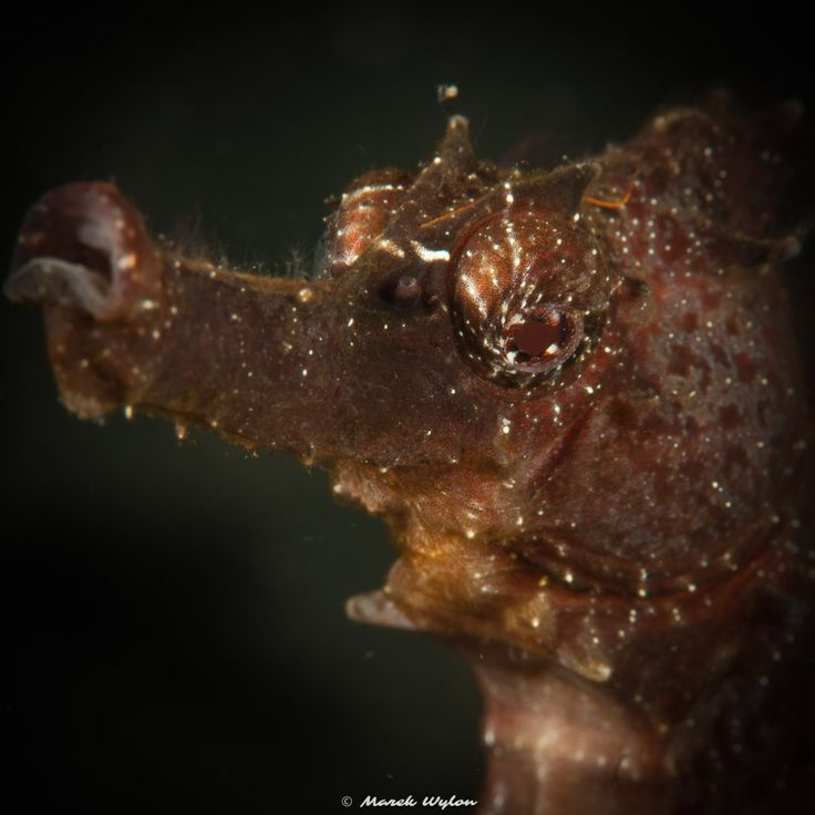 Moluccan Seahorse | Lembeh Strait | 2011.10.11  Title: Moluccan Seahorse Location: Lembeh Strait Camera: NIKON D300 Lens: AF-S VR Micro-Nikkor 105mm f/2.8G IF-ED Settings: 1/250 f/29 ISO200 Housing: Subal ND300 Strobes: 2 x Subtronic Pro270  http://marek.wylon.com