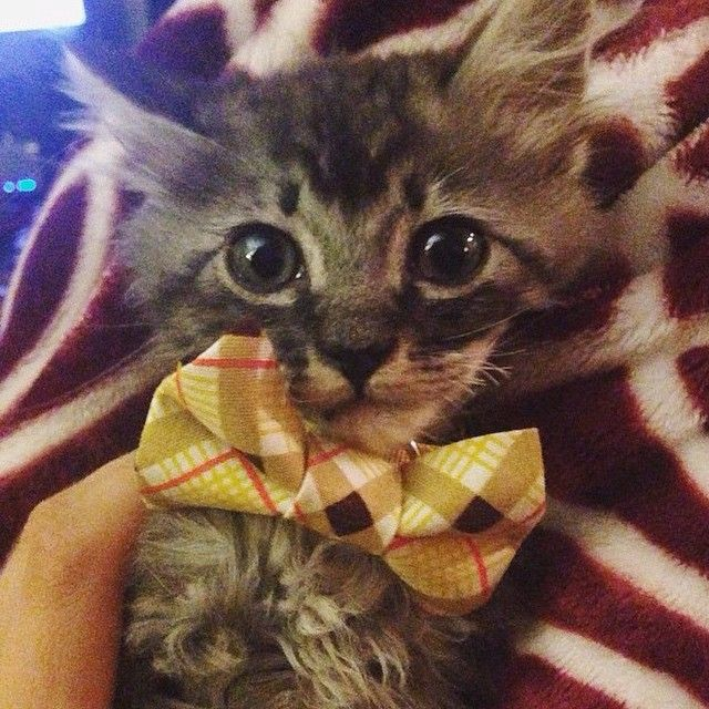 Had to share: This is Wario who was adopted yest @catconla - wearing @sweetpicklesdesigns bowtie (which we just happen to sell @domestica! SO cute. #cat #kitten #handmade #collar #adopt #catconla