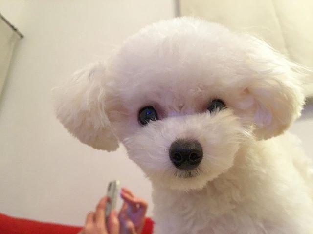 . 昨日体重測ったら1.2㌔😰 もうちょっと太ってください〜🤦♀️ . #愛犬#トイプードル#トイプードルアンディ #トイプードルホワイト #トイプードル子犬 #mydog #dog #doglover #dogslife #instadog #instalike #instagood #instadaily #nice #nicepicture #goodmorning #goodlife #good #cute#toypoodle #犬#可愛い#犬#トリミング