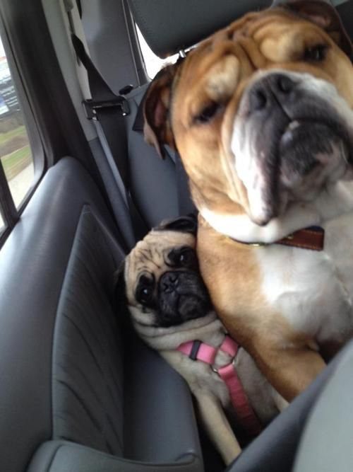 Me? No I have plenty of room...this is such a bulldog