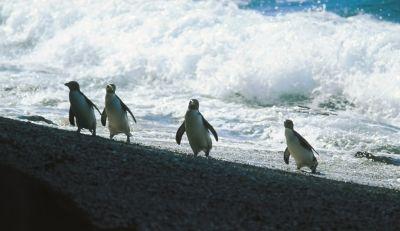 Fiordland crested penguins - Lake Moerake