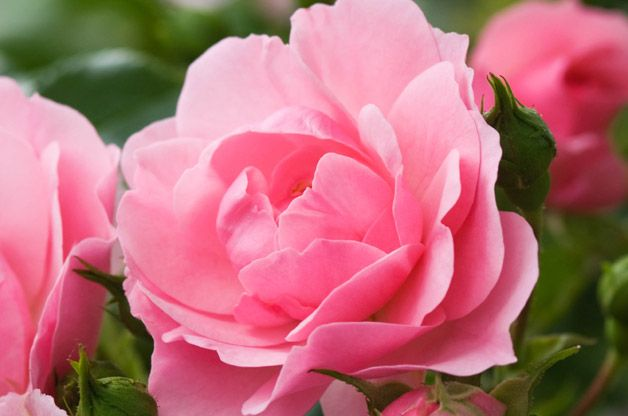 There's a longtime love affair between gardeners and roses. Find your new favorite tried-and-true rose on our list of the top 10 best roses.