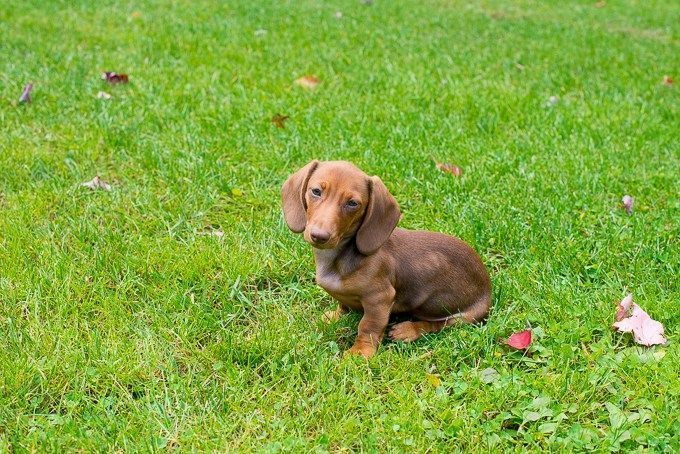 How To Crate Train A Dachshund Dog Behavior Dog Training