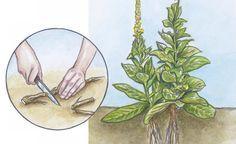 Wurzelschnittlinge  Manche Arten lassen sich nur durch Wurzelschnittlinge sortenecht und ergiebig vermehren – auch wenn es auf den ersten Blick erstaunlich erscheint, dass eine neue Pflanze aus dem Teilstück einer Wurzel entsteht. Diese Vermehrungstechnik kommt bei Arten zum Einsatz, die fleischige, wenig verzweigte Pfahlwurzeln bilden, zum Beispiel Königskerze, Herbstanemone und Türken-Mohn