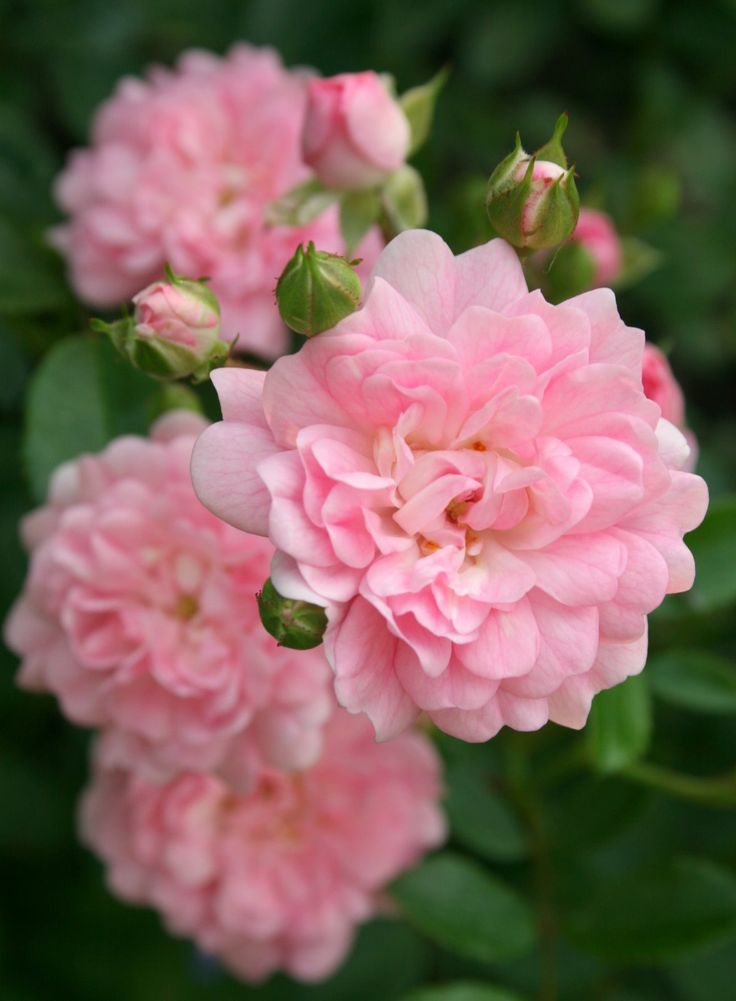 Roses In Garden: 2467 Best Images About English Roses On Pinterest