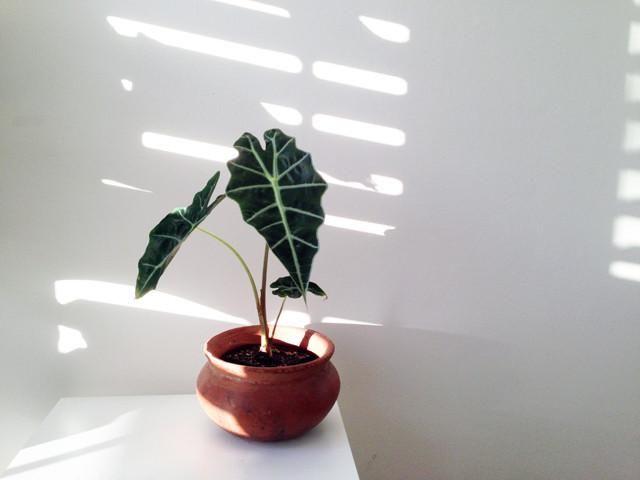 Shop Indoor Plants   Alocasia   Elephants Ear   Tropical https://plantsinabox.com.au/products/alocasia-lowiipolly-amazonica
