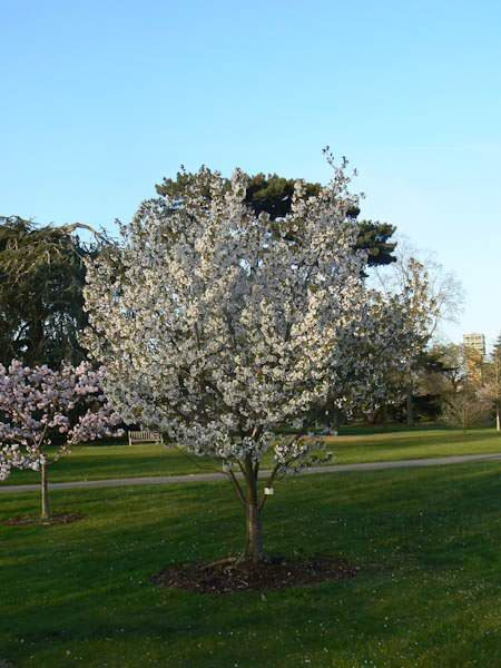 Prunus Umineko 5m H X 3mS