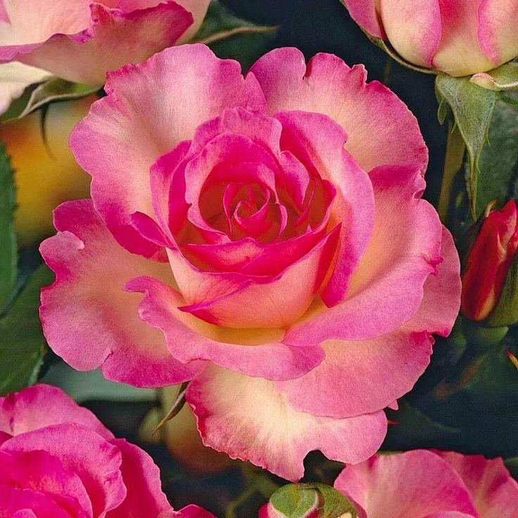 Hybrid Tea Rose Rosa 'Chicago Peace'