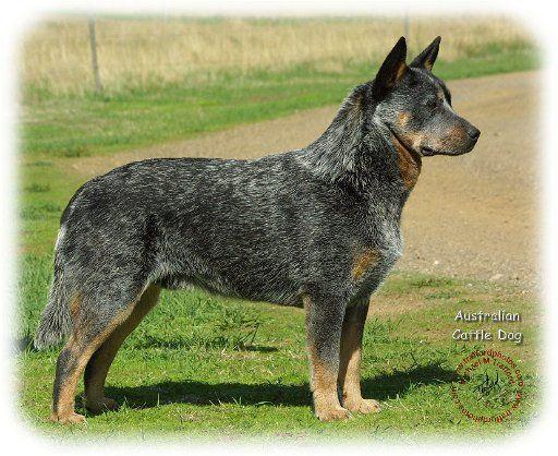 Australische Veedrijvershond / Australian Cattle Dog