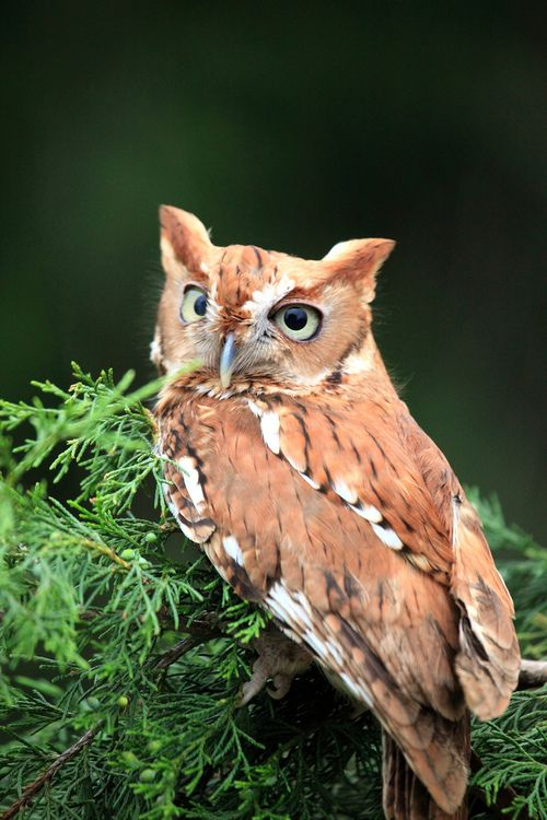 autumn-wood-nymphh:    rhamphotheca:    Otus the red phase Eastern Screech Owl (Megascops asio, formerly Otus asio) chills out on a juniper branch at the Blackland Prairie Raptor Center, Dallas, TX, USA.  (photo: SheriBeari)    ..Follow for all things Pagan. Witchcraft. Nature. Fantasy and more..