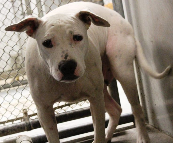 NAME: Snow-white  ANIMAL ID: 36515757  BREED: Dalmatian mix  SEX: female  EST. AGE: 2 yr  Est Weight: 65 lbs  Health: Heartworm neg  Temperament: dog friendly, people friendly  ADDITIONAL INFO: RESCUE PULL FEE: no fee  Intake date: 9/11  Available: 9/17