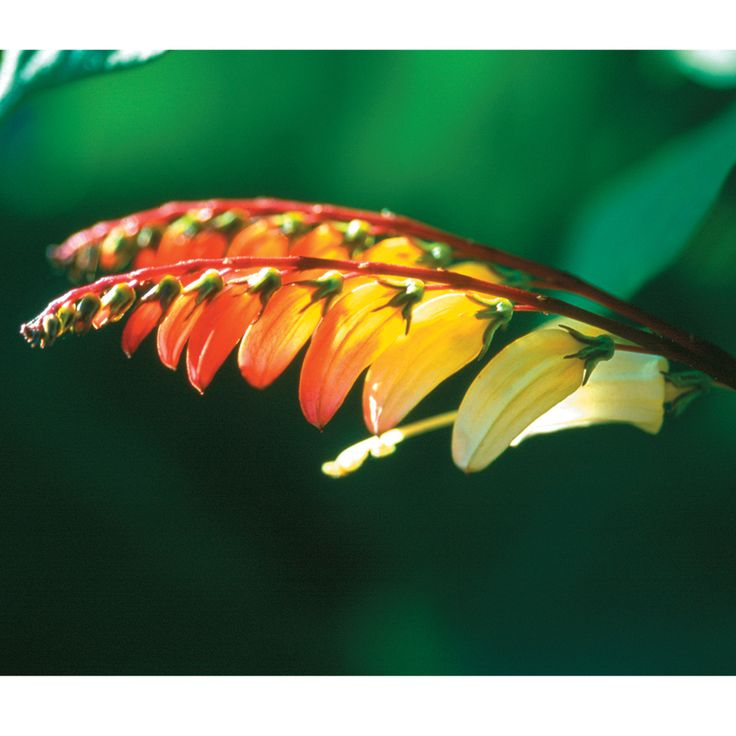 Mina lobata - Annual Plants - Thompson & Morgan