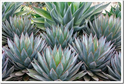 Agave Blue Flame Behind Agave Blue Glow In Front Agave Blue Glow Succulents Succulent Landscaping