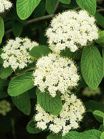 Viburnum X Rhytidophylloides Allegheny Rounded Semi Evergreen Shrub Long Dark